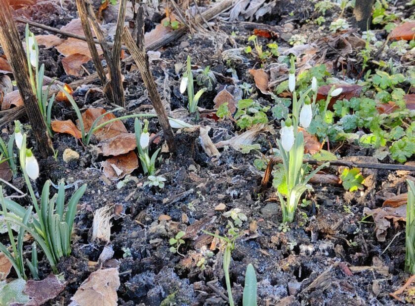 February at Ravenscraig Snowdrops