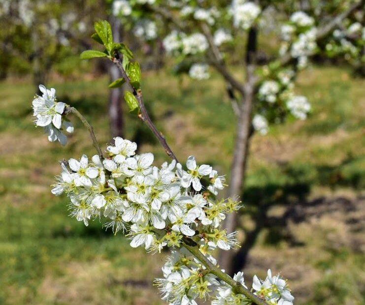 april at ravenscraig - blossom