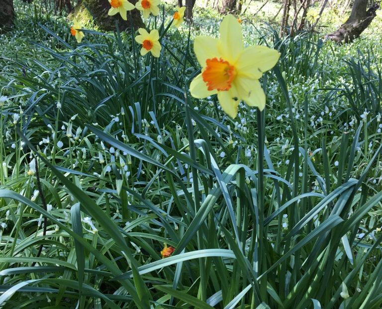 woodland walks - Daffodils full of vibrant colours