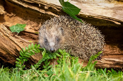 hedgehog - learning to love wildlife in the garden